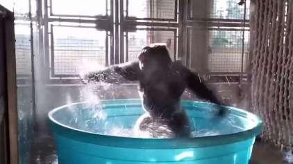 Gorila dançando Maniac vai ser a melhor coisa que você vai ver