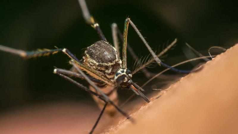 Novos testes conseguem matar 80% dos mosquitos, na Austrália