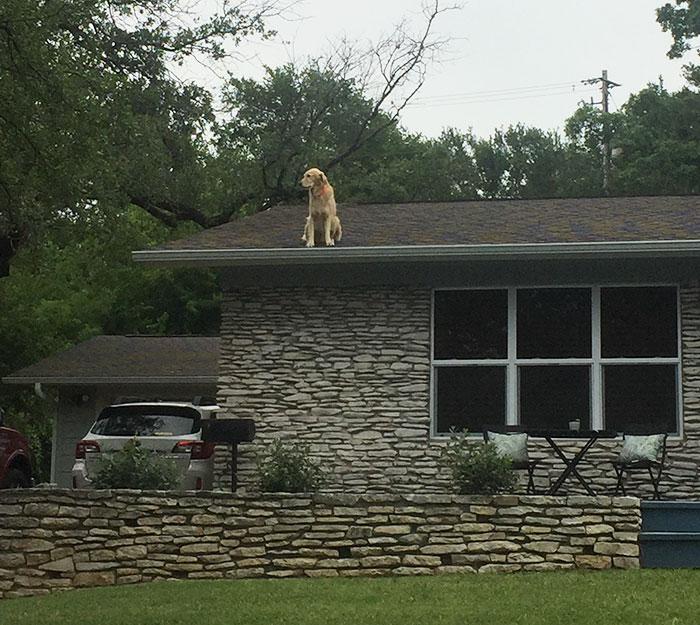 Conheça Huck, o cachorro do telhado