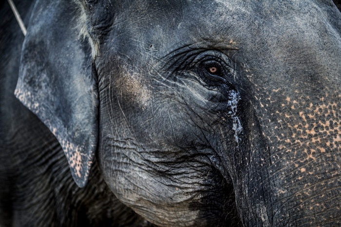 Caçador atira em elefante. Elefante cai em cima do caçador