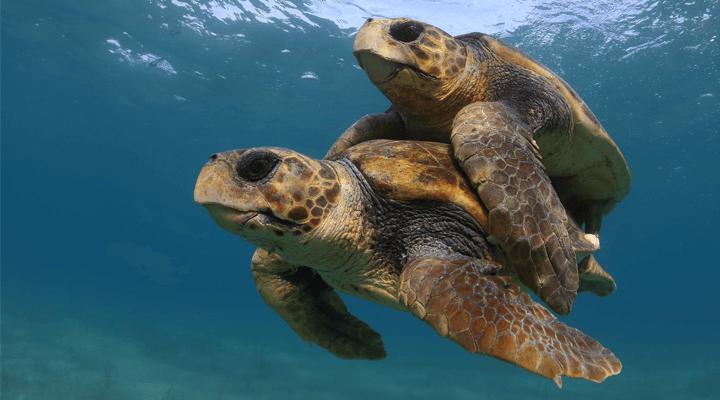Tartarugas marinhas são infiéis