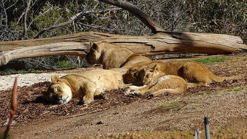Caçador é morto e decapitado por grupo de leões na África