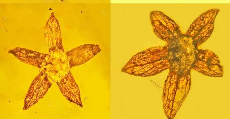 Como no Jurassic Park: Flores foram encontradas preservadas