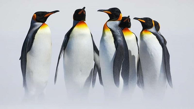 No Canadá está frio demais até mesmo para Pinguins