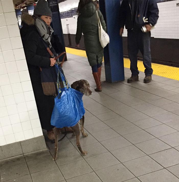 Apenas cães que cabem em bolsas podem entrar no metro, e agora?