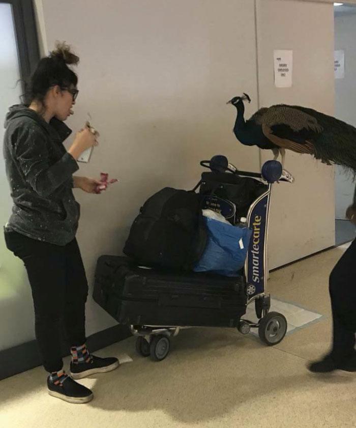 Mulher tenta embarcar em avião com um pavão