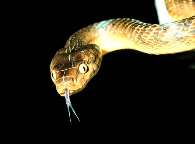 Como Serpentes a Bordo podem prejudicar as aves do Havaí