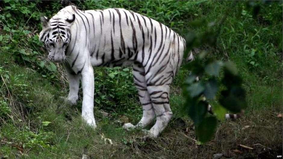 Tigres brancos atacam e matam cuidador em zoológico da Índia
