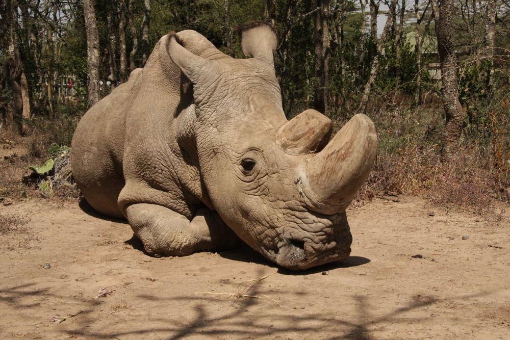 Sudão, o último rinoceronte branco do norte macho, morreu