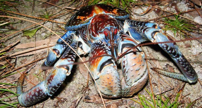 Apocalipse Crustáceo: Caranguejos são flagrados caçando pássaros