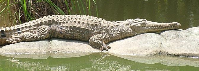 Natureza assustadora: Vídeo mostra o embate de dois crocodilos