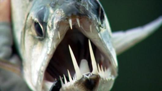 4 criaturas assustadores que você pode encontrar no Amazonas