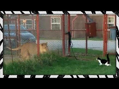 Gatinho corajoso encara leão de frente