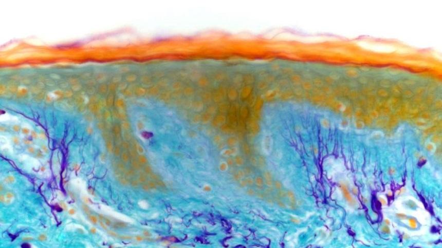 Cientistas descobrem órgão completamente novo no corpo humano