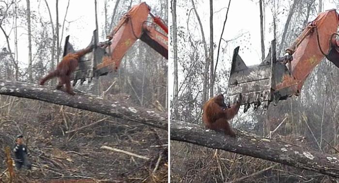Vídeo chocante mostra orangotango enfrentando escavadeira