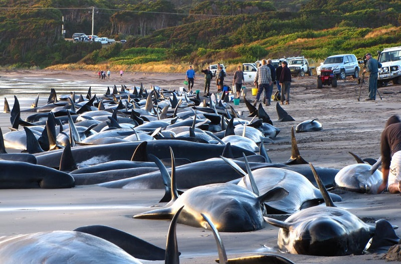 150 baleias-piloto encalham de uma vez em praia australiana