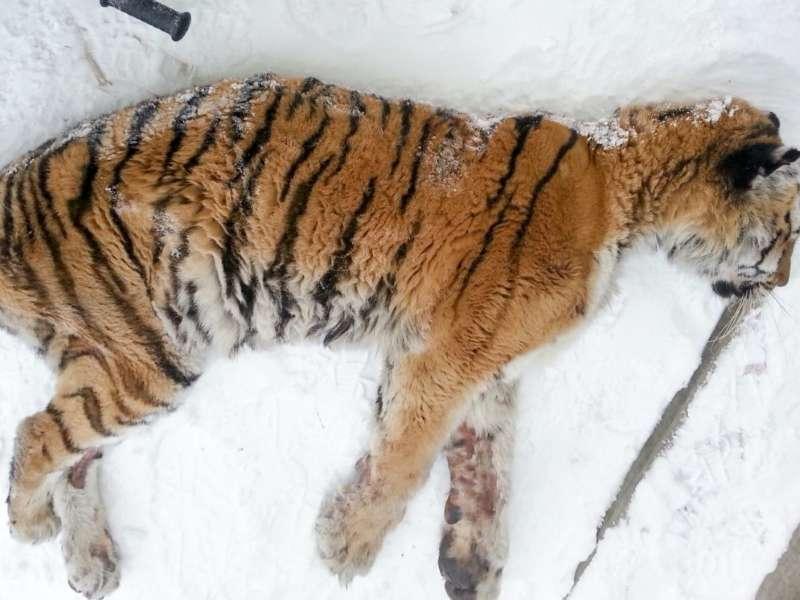 Homem sai na varanda e dá de cara com um tigre