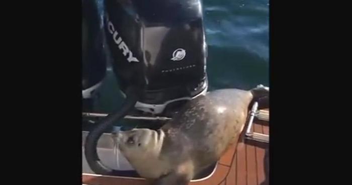 Vídeo mostra foca usando um barco para se esconder de orcs
