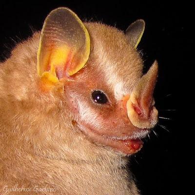 Morcego que se alimenta de frutos