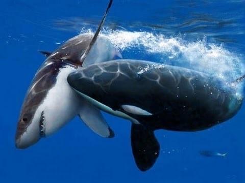 Orca atacando tubarão branco.